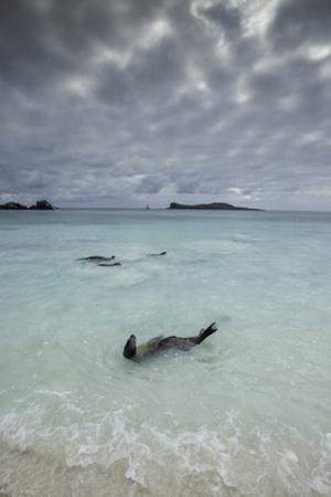 Galapagos Sea Lions Float in the Surf by Jad Davenport