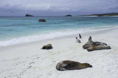 Galapagos Sea Lions on the Beach by Jad Davenport