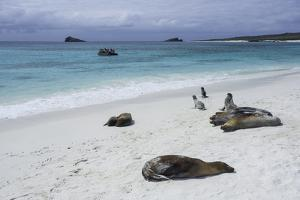Galapagos Sea Lions on the Beach by Jad Davenport