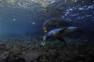 Galapagos Sea Lions Playing Underwater by Jad Davenport