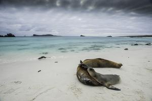 Galapagos Sea Lions Relaxing on the Beach by Jad Davenport