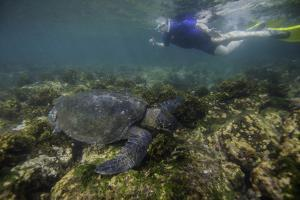 Snorkeler Swimming with a Green Sea Turtle by Jad Davenport