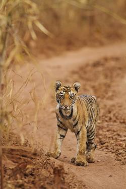 Bengal Tiger Cub on the Move, Tadoba Andheri Tiger Reserve, India by Jagdeep Rajput