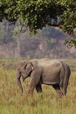 Indian Asian Elephant, Corbett National Park, India by Jagdeep Rajput