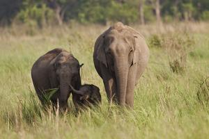 Indian Asian Elephant Family in the Savannah, Corbett NP, India by Jagdeep Rajput