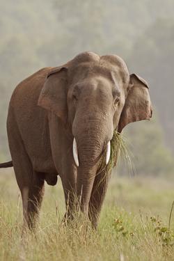 Indian Asian Elephant Feeding, Corbett National Park, India by Jagdeep Rajput