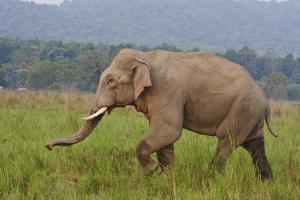 Indian Asian Elephant, Male, in the Savannah, Corbett NP, India by Jagdeep Rajput