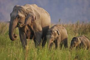 Indian Asian Elephant, Mother and Calves, Corbett National Park, India by Jagdeep Rajput