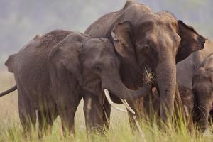 Indian Asian Elephant, Offering Grass, Corbett National Park, India by Jagdeep Rajput