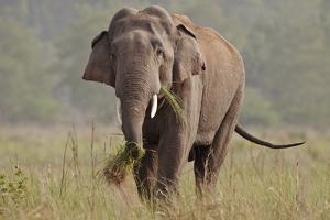 Indian Asian Elephant, Tusker, Feeding, Corbett National Park, India by Jagdeep Rajput