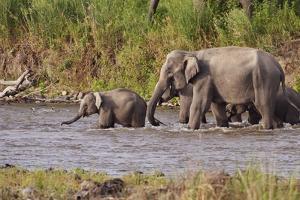 Indian Asian Elephants, Crossing the River Ramganga, Corbett NP, India by Jagdeep Rajput
