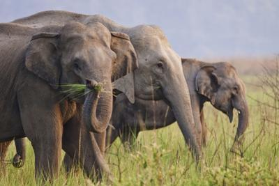 Indian Asian Elephants Displaying Grass, Corbett National Park, India