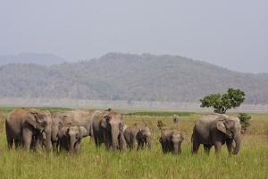 Indian Asian Elephants in the Savannah, Corbett National Park, India by Jagdeep Rajput