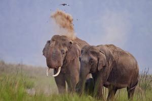 Pair of Indian Asian Elephant, Corbett National Park, India by Jagdeep Rajput