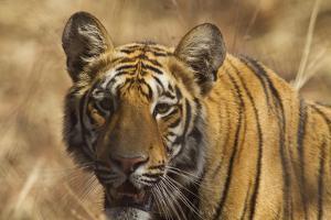 Royal Bengal Tiger, a Close Up, Tadoba Andheri Tiger Reserve, India by Jagdeep Rajput