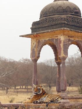Royal Bengal Tiger At The Cenotaph, Ranthambhor National Park, India by Jagdeep Rajput