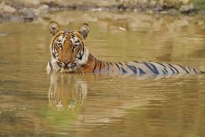 Royal Bengal Tiger at the Waterhole, Tadoba Andheri Tiger Reserve by Jagdeep Rajput