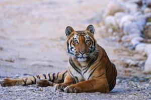 Royal Bengal Tiger by the Ramganga River, Corbett NP, India by Jagdeep Rajput