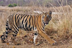 Royal Bengal Tiger in Grassland, Tadoba Andheri Tiger Reserve, India by Jagdeep Rajput