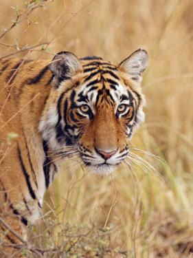 Royal Bengal Tiger Watching, Ranthambhor National Park, India by Jagdeep Rajput
