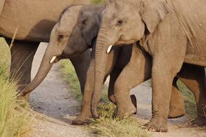 Young Indian Asian Elephants, Corbett National Park, India by Jagdeep Rajput