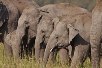 Young Indian Asian Elephants, Corbett National Park, India