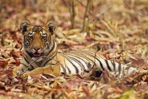 Young One of Royal Bengal Tiger, Tadoba Andheri Tiger Reserve, India by Jagdeep Rajput