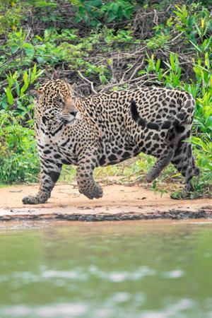 Jaguar (Panthera onca) at riverside, Pantanal Wetlands, Brazil