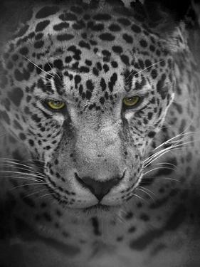 An Intense Stare by Jai Johnson