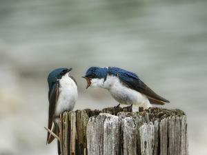 Angry Swallows by Jai Johnson