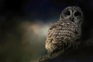 Barred Owl on a Winter Night by Jai Johnson