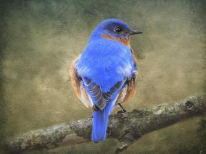 Bluebird Portrait by Jai Johnson