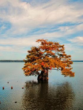 Cypress in Autumn 2 by Jai Johnson
