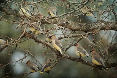 Family Reunion Cedar Wax Wings