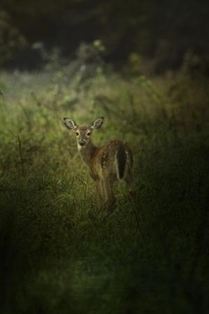Fawn in the Field by Jai Johnson