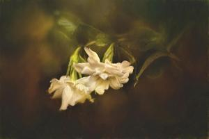 Gardenia in the Garden by Jai Johnson
