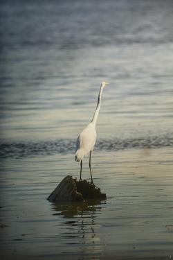 Great White Egret at Sunrise by Jai Johnson