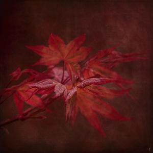 Japanese Maple by Jai Johnson