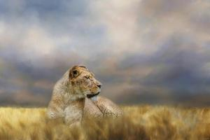 Lioness after the Storm by Jai Johnson