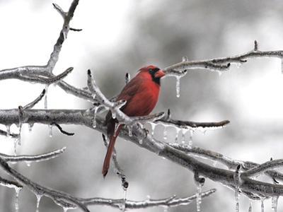 Male Cardinal Braving the Cold by Jai Johnson