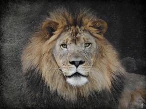 Male Lion Portrait 1 by Jai Johnson