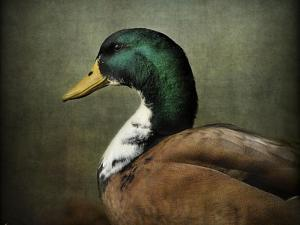 Mallard Duck Portrait by Jai Johnson