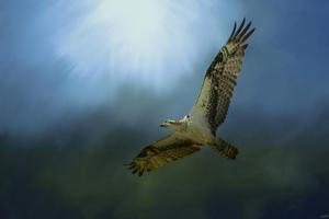 Osprey in the Evening Light by Jai Johnson