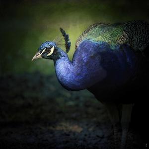 Peacock 1 by Jai Johnson
