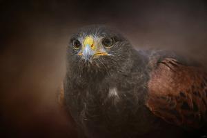 Portrait of the Harris Hawk by Jai Johnson