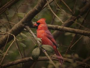 Song of the Red Bird 1 by Jai Johnson