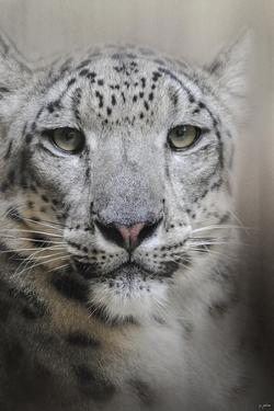 Stare of the Snow Leopard by Jai Johnson