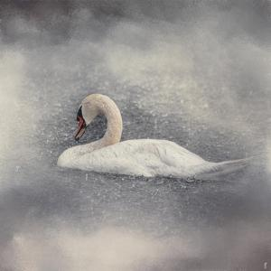 Swan Storm by Jai Johnson