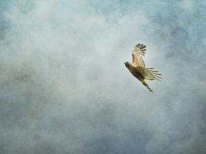 Up Up and Away Red Shouldered Hawk by Jai Johnson