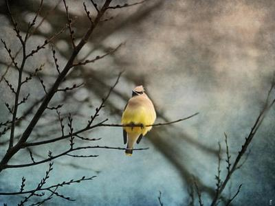 Waxwing at Winter Sunset